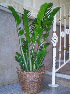 Zamioculcas gipsy fiori fiori alessandria consegna for Zamioculcas cura