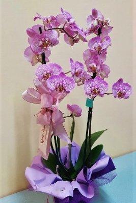 Per bimba gipsy fiori fiori alessandria consegna for Orchidea pianta