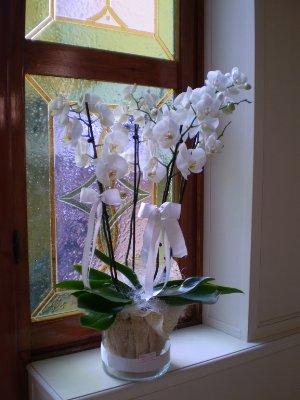 Grande orchidea gipsy fiori fiori alessandria for Vasi per orchidee ikea